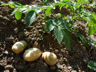 Semer pomme de terre cultiver des pommes de terre au - Quand semer les pommes de terre ...
