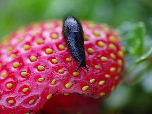 limace-fraise