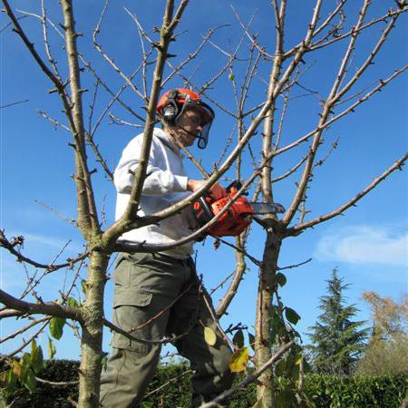 Taille des arbres quand faut il le faire mon potager gourmand - Quand faut il tailler les ifs ...