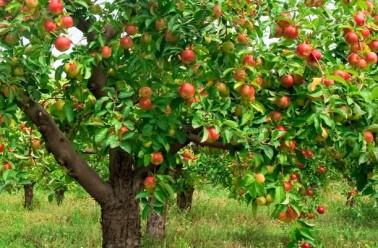 des-arbres-fruitiers