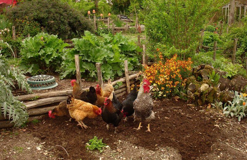 Mon potager et mes poules nourrissent ma famille toute l'année !