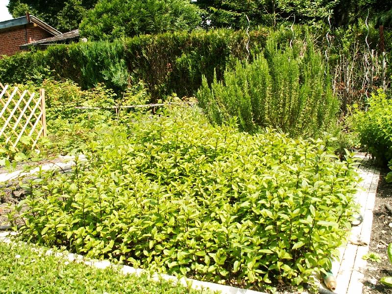 De bonnes raisons de cultiver de la menthe dans le potager