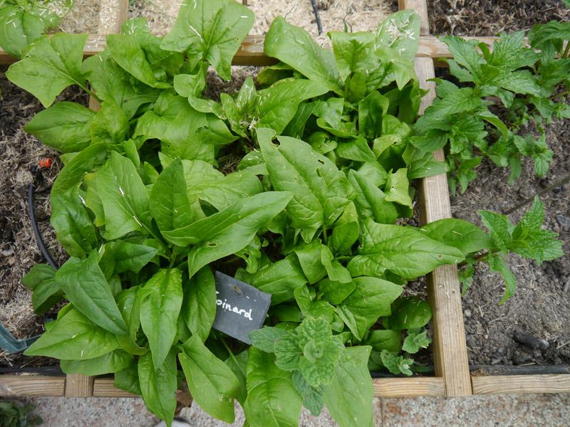 Comment faire pousser des épinards pendant l'hiver ?